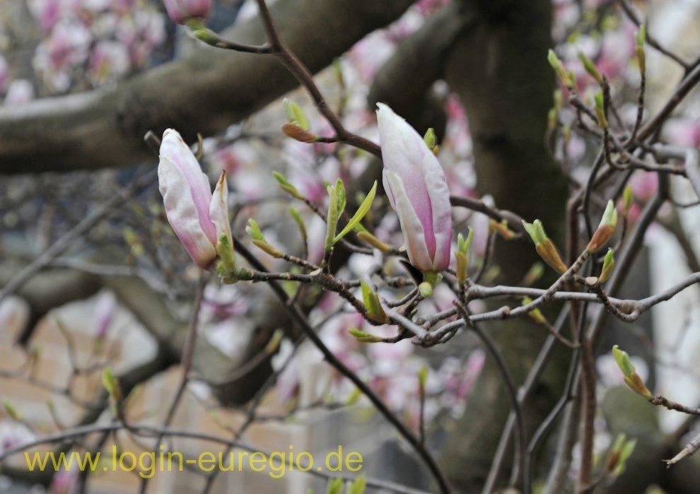 dom magnolie bl ht unterwegs in der euregio maas rhein. Black Bedroom Furniture Sets. Home Design Ideas