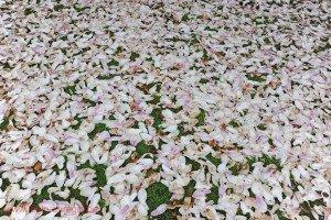 Verblüte Magnolie